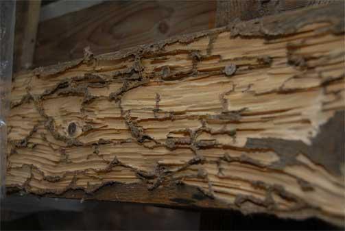 Madera afectada por la termita